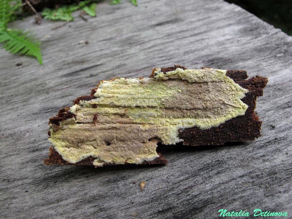 Амилокортициум субинкарнатный (Amylocorticium subincarnatum) Автор фото: Детинова Наталия
