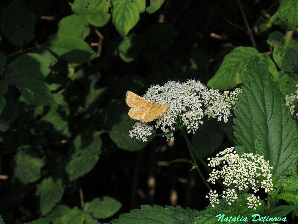 Пяденица  сливовая (Angerona prunaria) Автор: Детинова Наталия