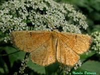 s:бабочки,c:охристые