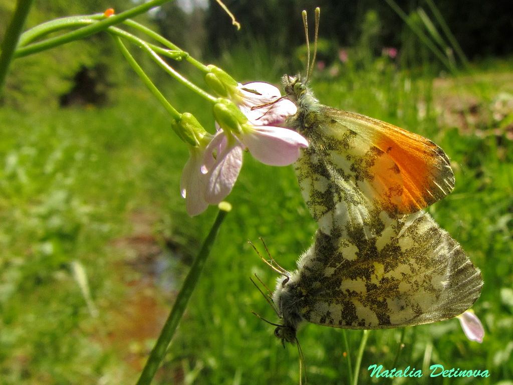 Московская область, Одинцовский район. Июнь. Спаривающиеся бабочки. Автор фото: Детинова Наталия
