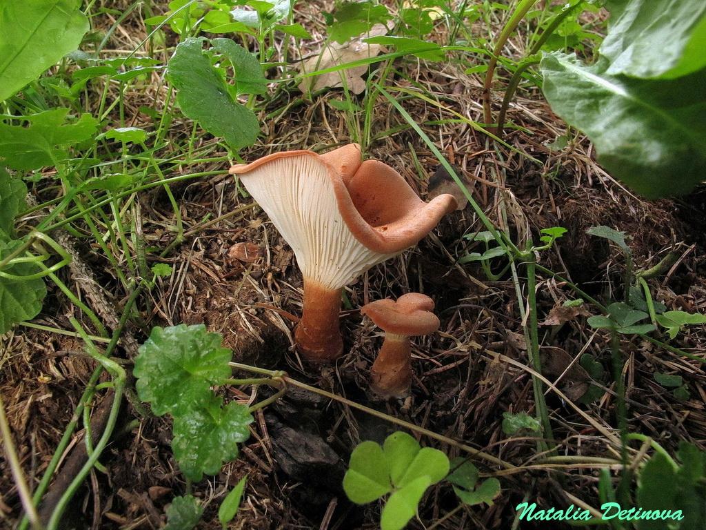Говорушка синопская (Clitocybe sinopica). Автор фото: Детинова Наталия