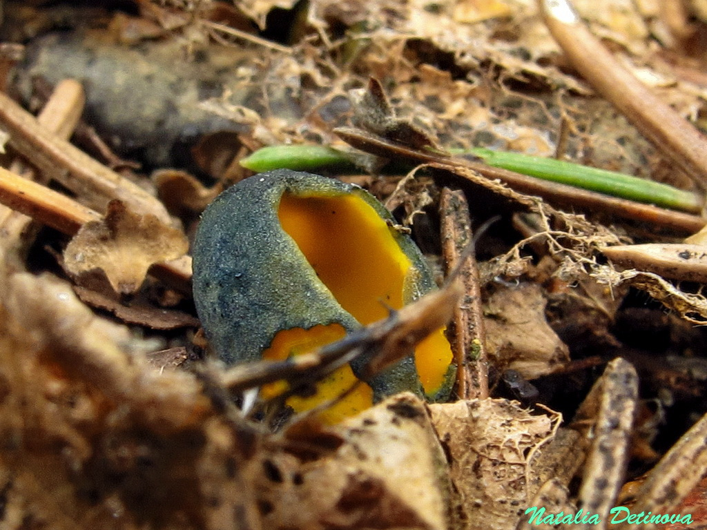 Калосцифа блестящая (Caloscypha fulgens) Автор фото: Детинова Наталия