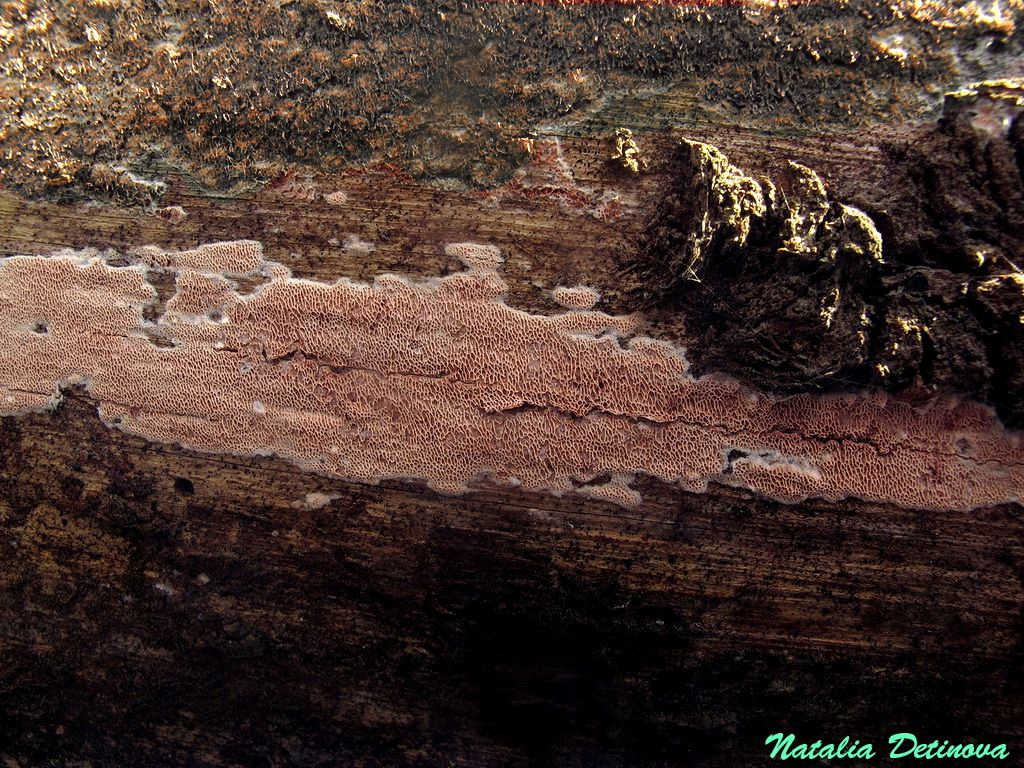 Московская область, Одинцовский район, перезимовавший гриб на сосновом бревне. Ранняя весна, 2016 год. Автор фото: Детинова Наталия