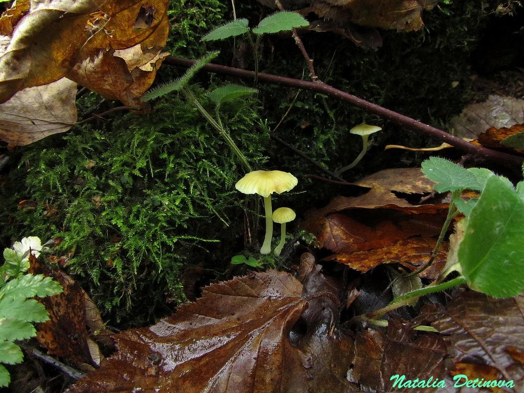 Хризомфалина толстенькая (Chrysomphalina grossula) Автор: Детинова Наталия