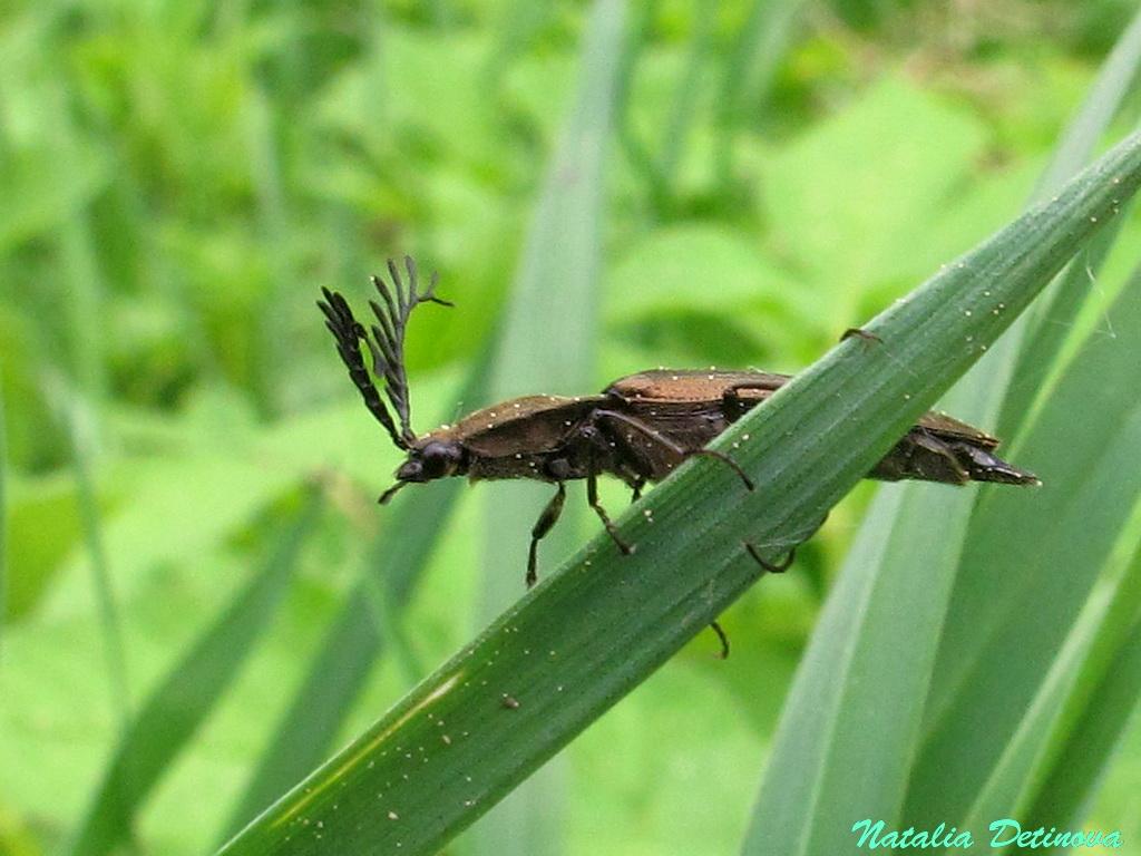 Щелкун гребнеусый (Ctenicera pectinicornis) Автор: Детинова Наталия