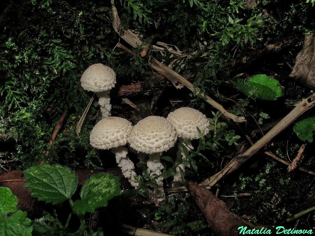 Цистолепиота переменчивая (Cystolepiota adulterina). Автор фото: