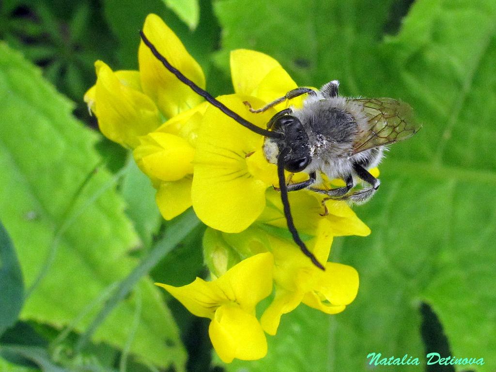 Пчела длинноусая (Eucera longicornis). Автор фото: Детинова Наталия