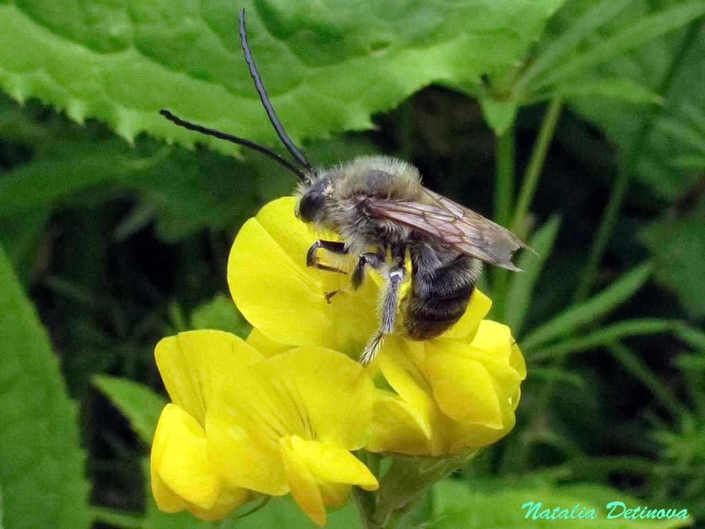 Пчела длинноусая (Eucera longicornis) Автор: Детинова Наталия