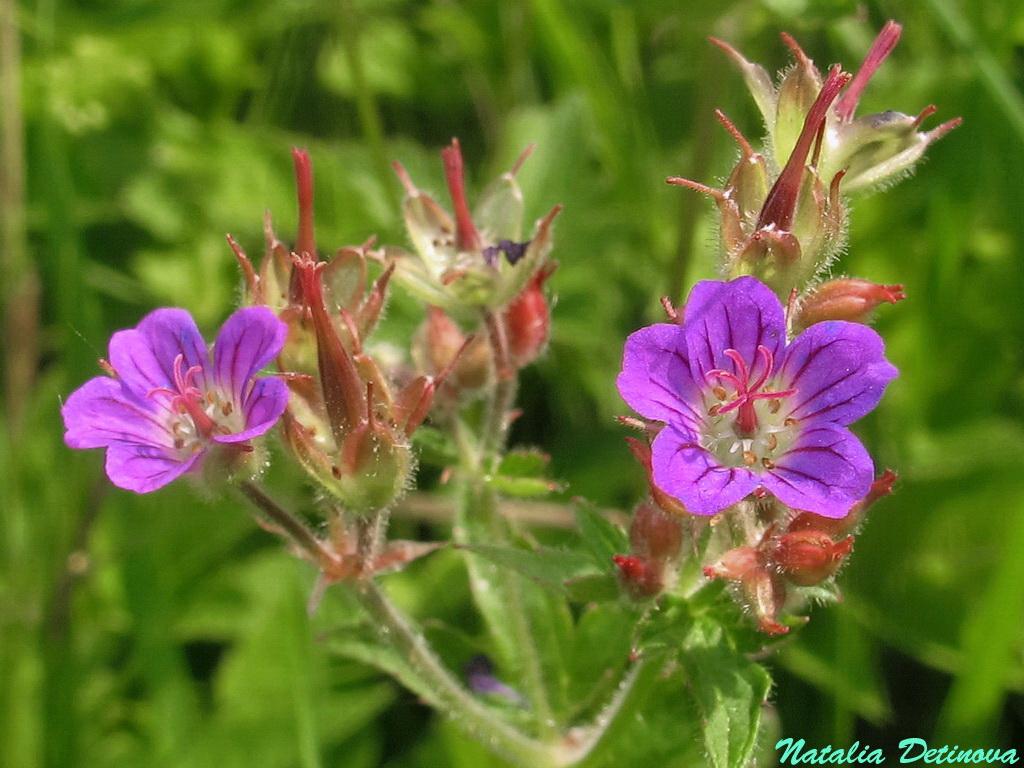 Герань лесная (Geranium sylvaticum) Автор: Детинова Наталия