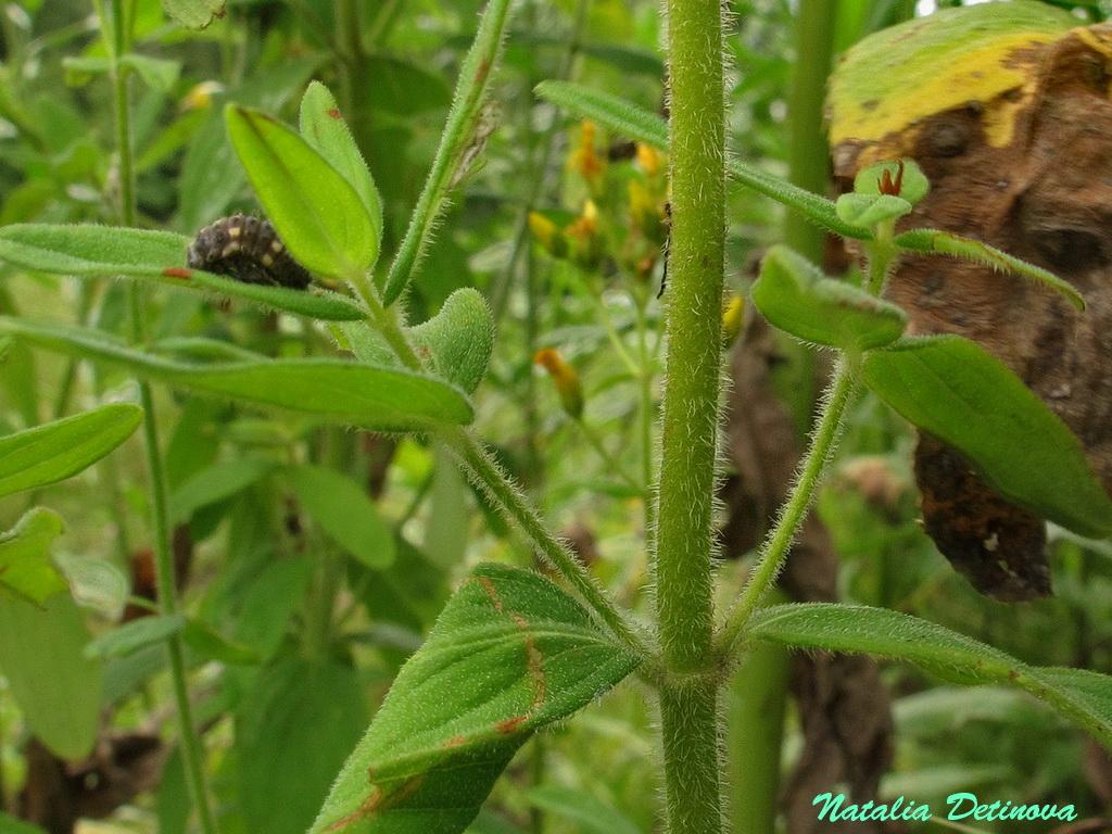 Зверобой волосистый (Hypericum hirsutum) Автор: Детинова Наталия