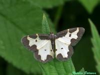 c:с темными пятнами,c:белые,s:бабочки,s:ночные бабочки