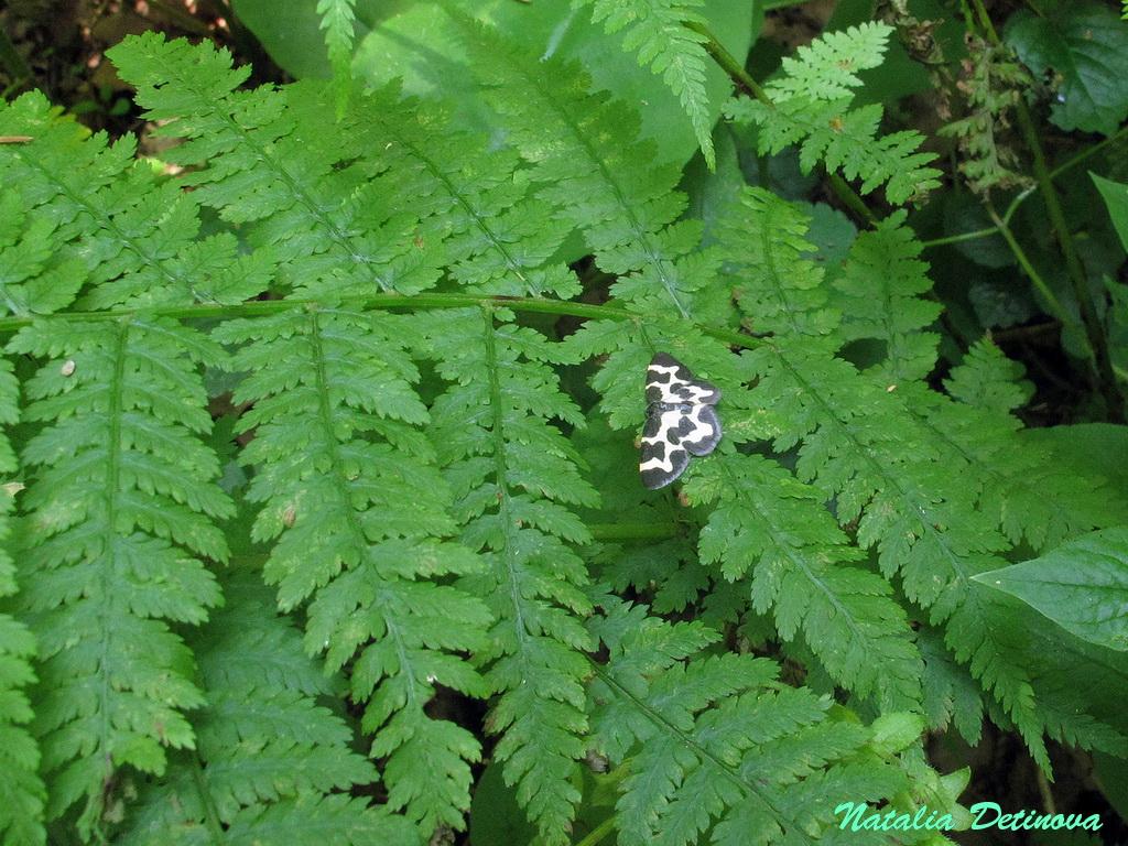 Пяденица окаймлённая (Lomaspilis marginata) Автор: Детинова Наталия