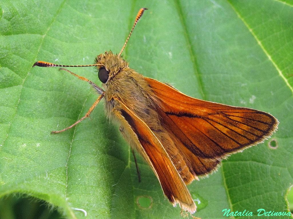 Толстоголовка лесная (Ochlodes sylvanus). Автор фото: