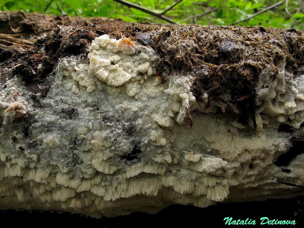 Оксипорус широкоокаймленный (Oxyporus latemarginatus) Автор: Детинова Наталия