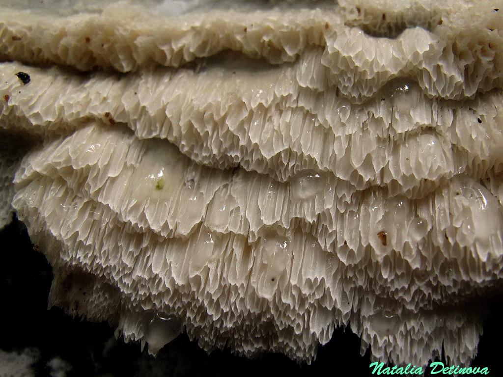 Московская область, Одинцовский район. Развивающийся гриб на обрубке ольхи. Июль 2019 г. Автор фото: Детинова Наталия