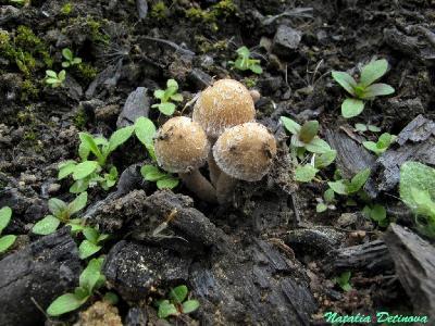 Псатирелла оперенная (Psathyrella pennata) Автор фото: Детинова Наталия