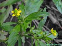s:травянистые,c:желтые,околоцветник актиноморфный,лепестков 5,c:светло-желтые,d:по берегам рек и ручьев