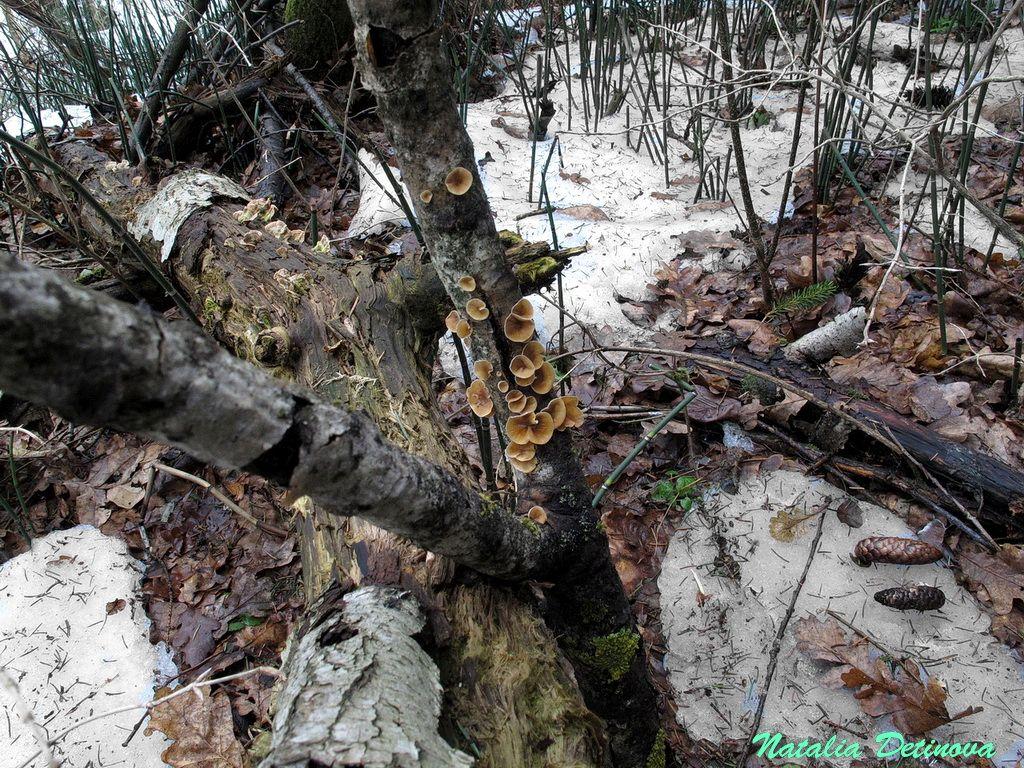 Московская область, Одинцовский район. Та же группа плодовых тел. На отпавшей ветке осины. Март 2017 г. Автор фото: Детинова Наталия