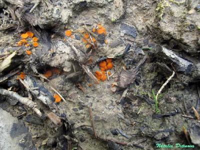 Скутеллиния крестоволосковая (Scutellinia crucipila) Автор фото: Детинова Наталия