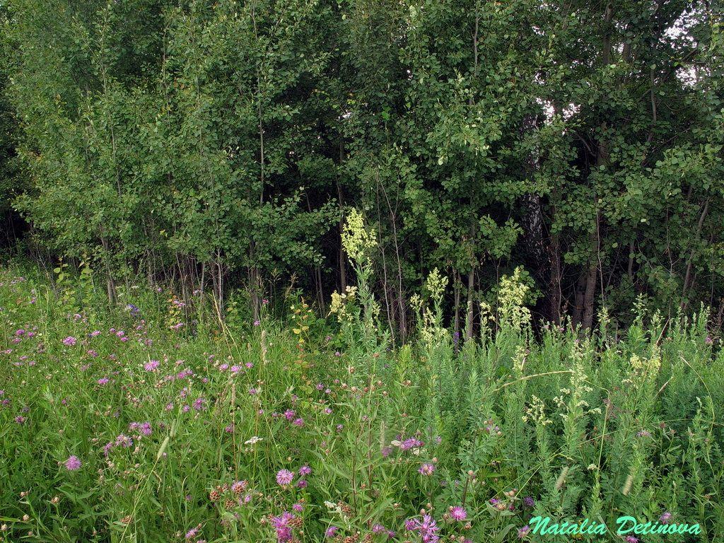 Московская область, Одинцовский район, граница между лесом и сухим лугом на склоне к реке. Июль 2019 г. Автор фото: Детинова Наталия