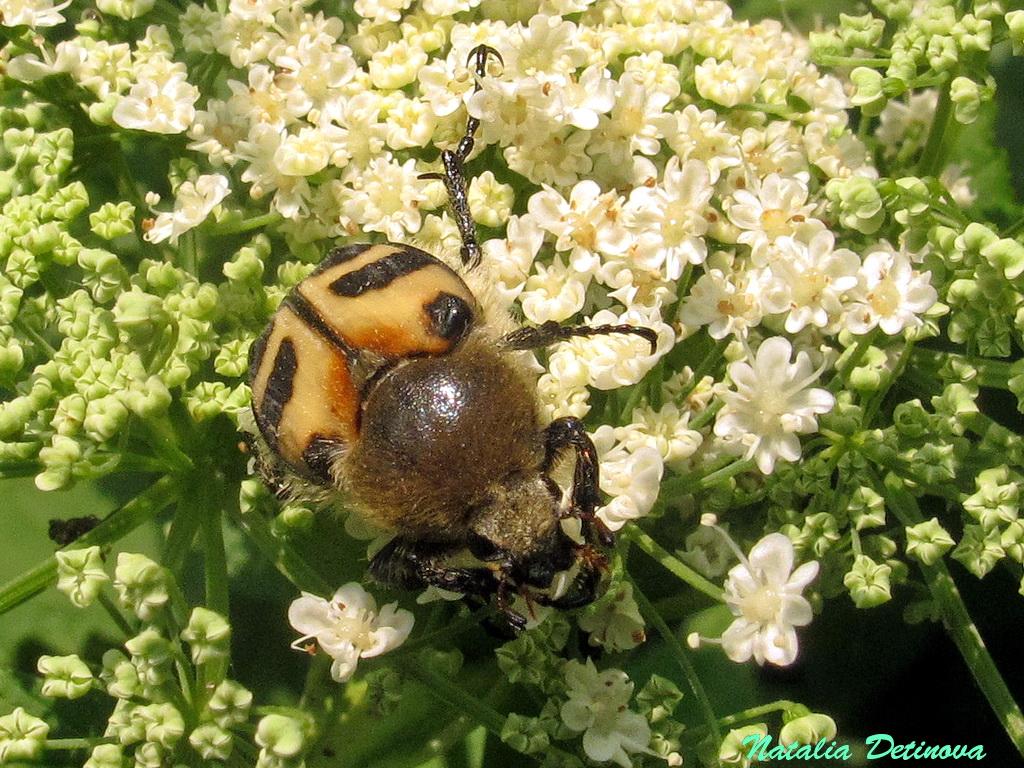 Восковик перевязанный (Trichius fasciatus) Автор: Детинова Наталия