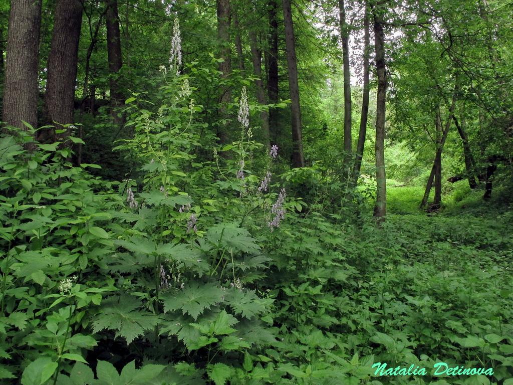 Московская область, Одинцовский район. Июнь  2020 г. В тенистых и влажных местах Aconitum septentrionale вырастает особенно мощным. Это растение имело в высоту более 2 м. Автор фото: Детинова Наталия