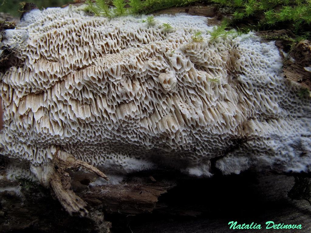 Апорпиум крупнопоровый (Aporpium macroporum) Автор фото: Детинова Наталия