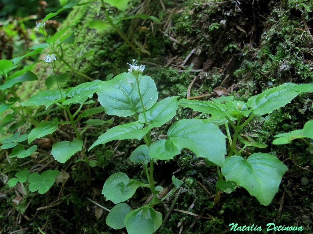 Двулепестник альпийский (Circaea alpina). Автор фото: Детинова Наталия
