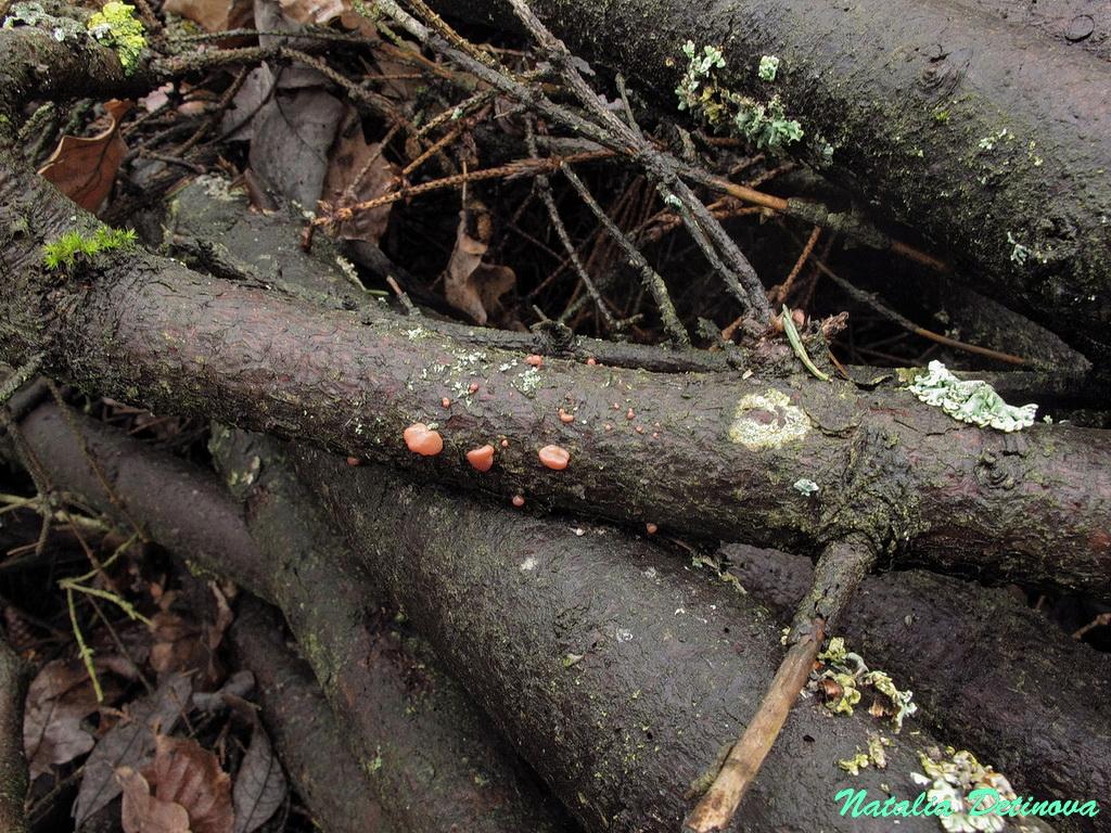 Кратероколла вишневая (Craterocolla cerasi)Актуальное название - Ditangium cerasi. Московская область, Одинцовский район. На еловой ветке. Продолжительная и сильная оттепель в январе 2020 г. Автор фото: Детинова Наталия