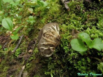 Лопастник ребристый (Helvella costifera)  Автор фото: Детинова Наталия