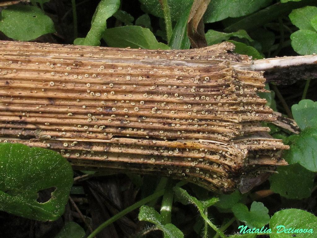 Лахнум мягчайший (Lachnum mollissimum) Автор: Детинова Наталия