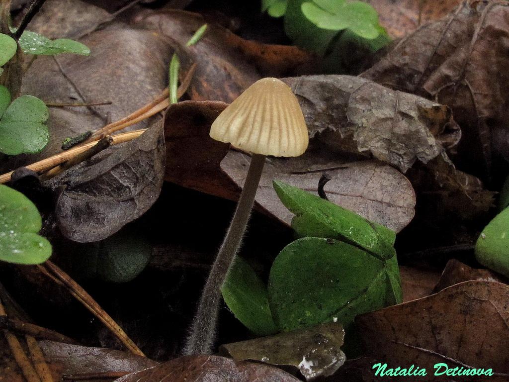 Московская область, Одинцовский район. Старый смешанный лес с преобладанием елок. Ноябрь 2019 г.  Коронный признак этой мицены – густое опушение ножки, которое поднимается по ножке очень высоко – иногда почти до шляпки. Отдельные волоски представляют собой  одну удлиненную клетку. Однако эта «меховая» ножка бывает хорошо видна только в природной среде - у не потревоженных грибов. Стоит сорвать мицену, как даже при очень осторожном обращении опушение моментально поникает. Автор фото: Детинова Наталия