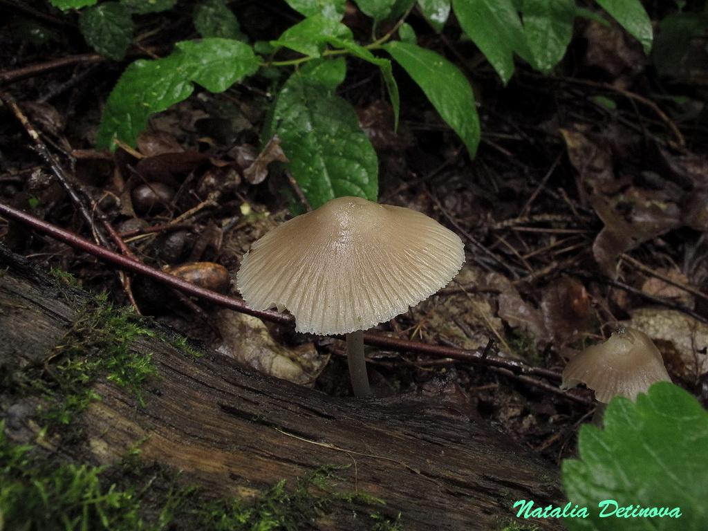 Мицена белоножковая (Mycena niveipes) Автор: Детинова Наталия