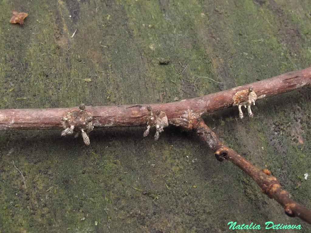 Офиокордицепс булавчатый (Ophiocordyceps clavulata). Автор фото: Детинова Наталия