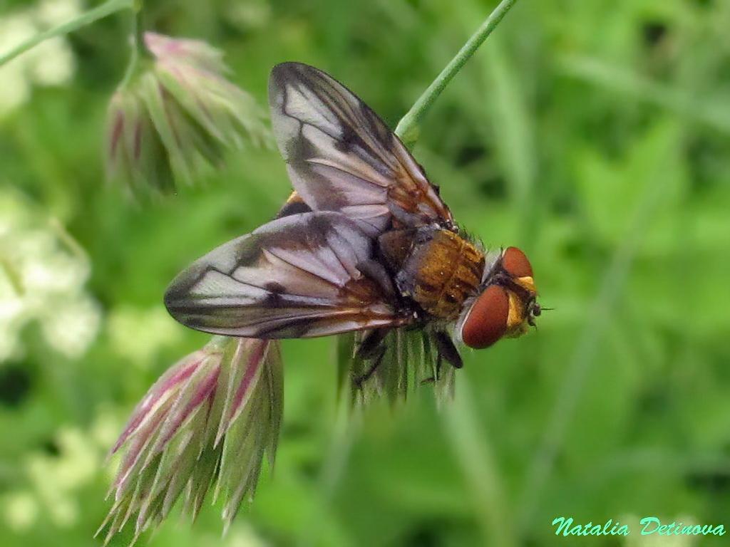 Ежемуха толстокрылая (Phasia crassipennis). Автор фото: Детинова Наталия