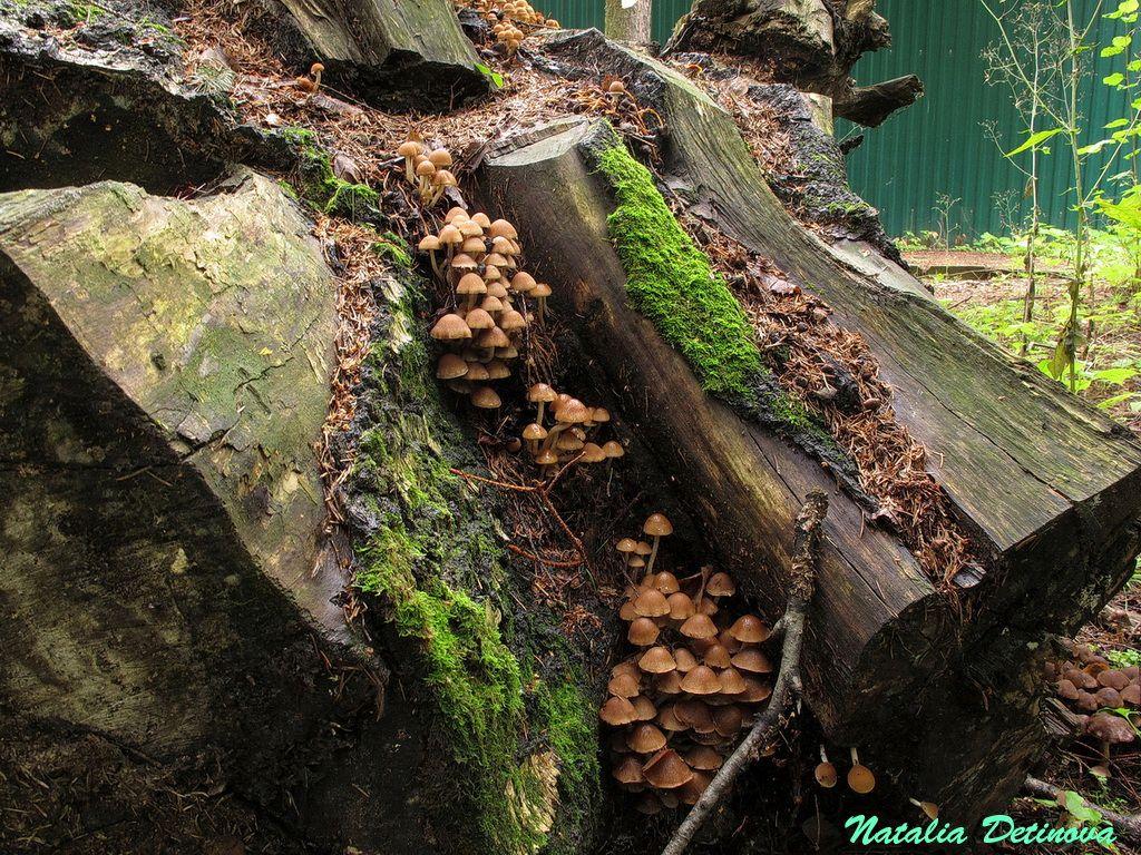 Псатирелла пилюлевидная (Psathyrella piluliformis) Автор фото: Детинова Наталия