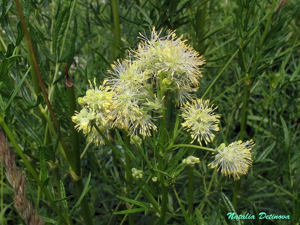 Василистник светлый (Thalictrum lucidum) Автор: Детинова Наталия