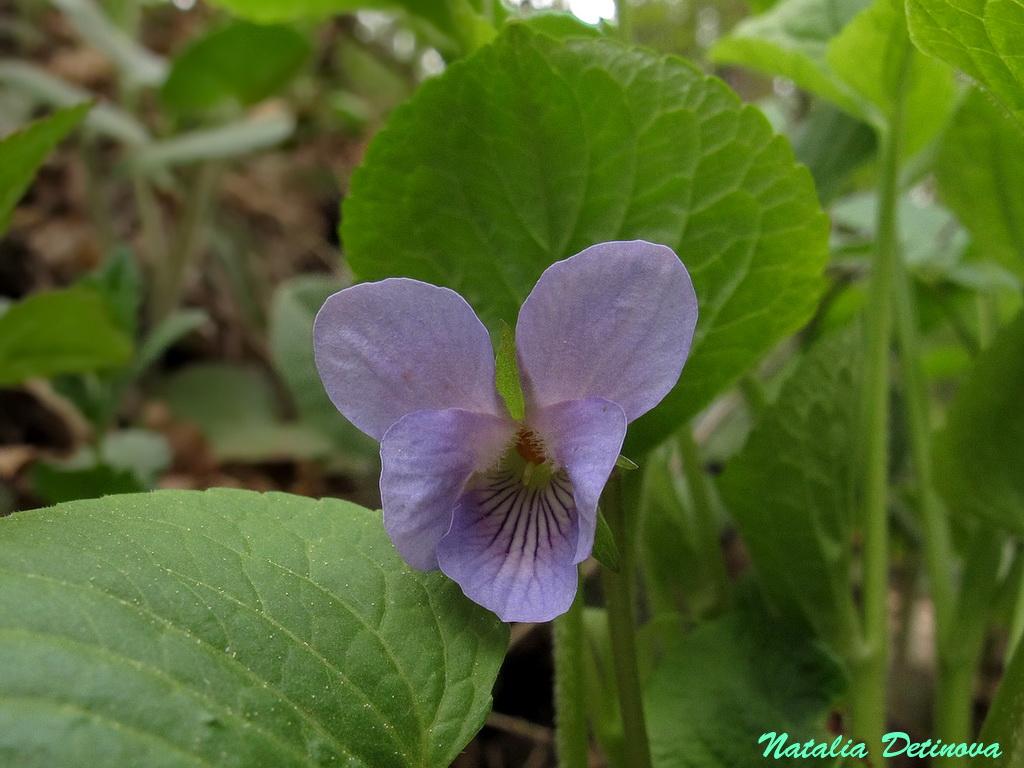 Фиалка удивительная (Viola mirabilis) Автор фото: Детинова Наталия