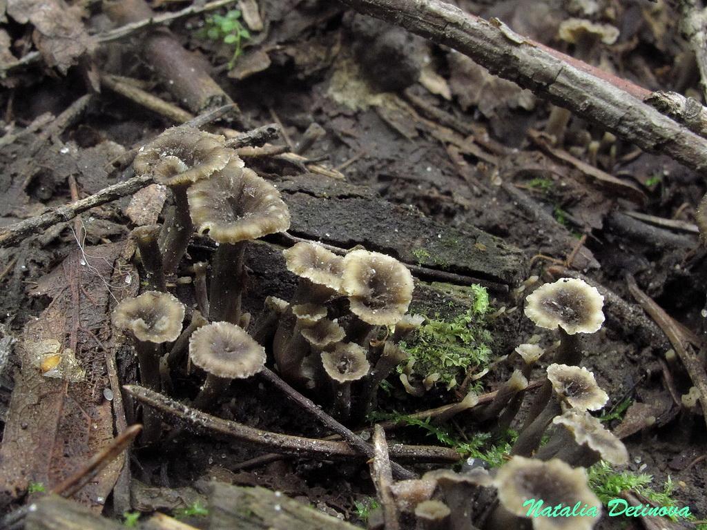 Вороночник извилистый (Craterellus sinuosus). Автор фото: Детинова Наталия