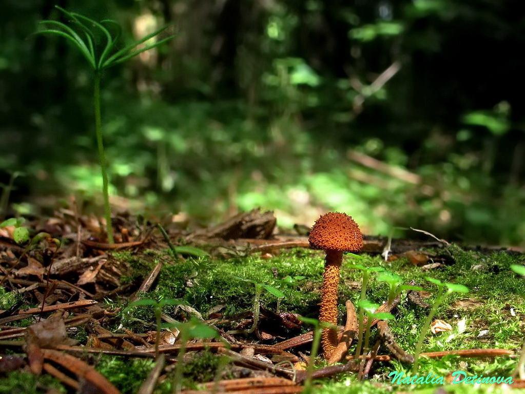 Фламмуластер шиповатый (Flammulaster muricatus). Автор фото: Детинова Наталия