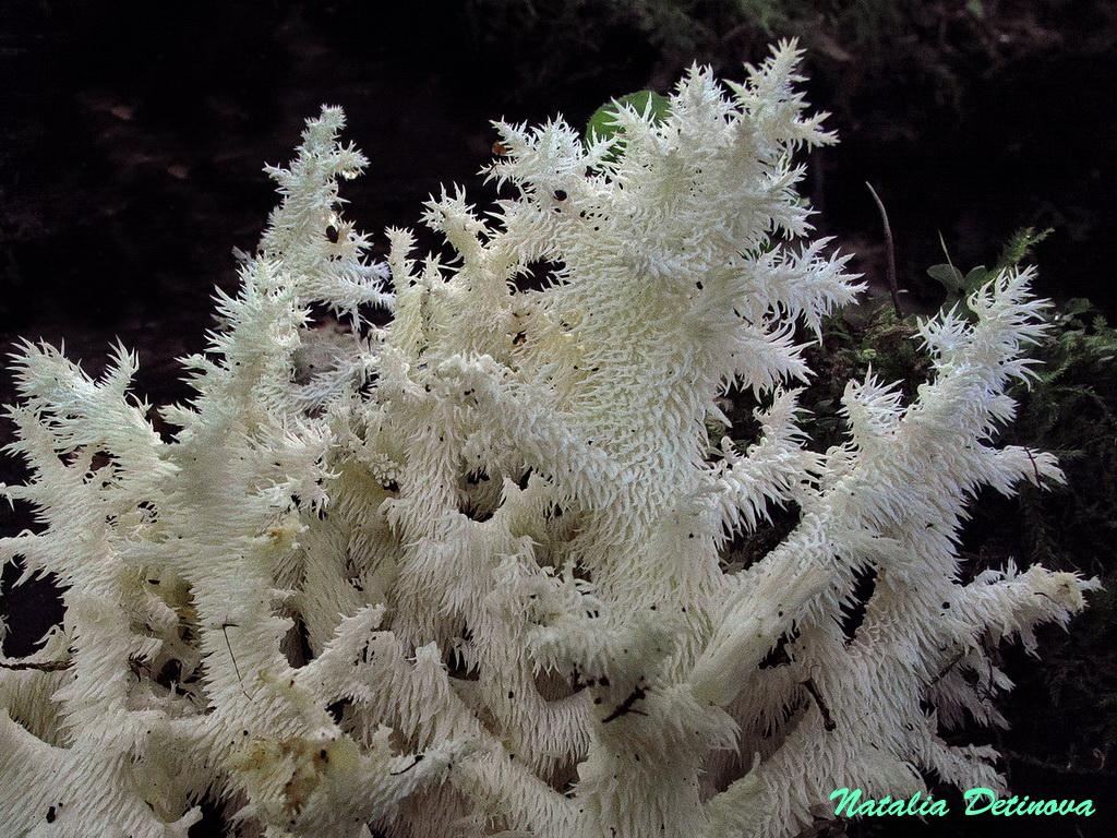Ежовик коралловидный (Hericium coralloides). Автор фото: Детинова Наталия