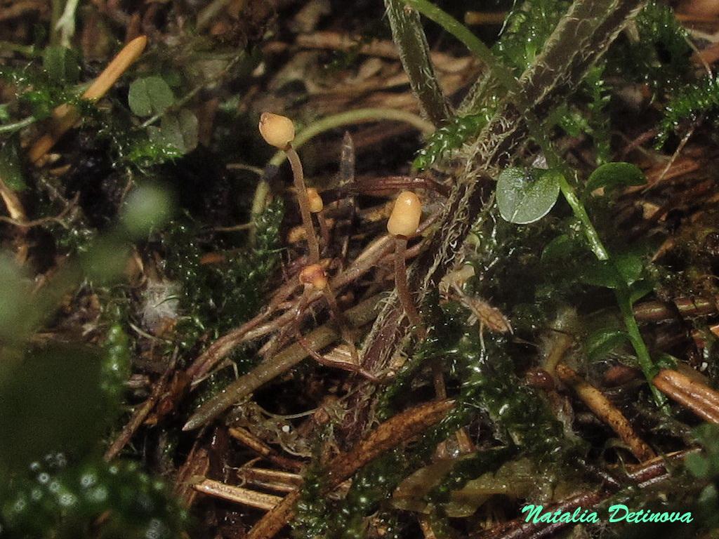 Хейдерия пихтовая (Heyderia abietis). Автор фото: Детинова Наталия