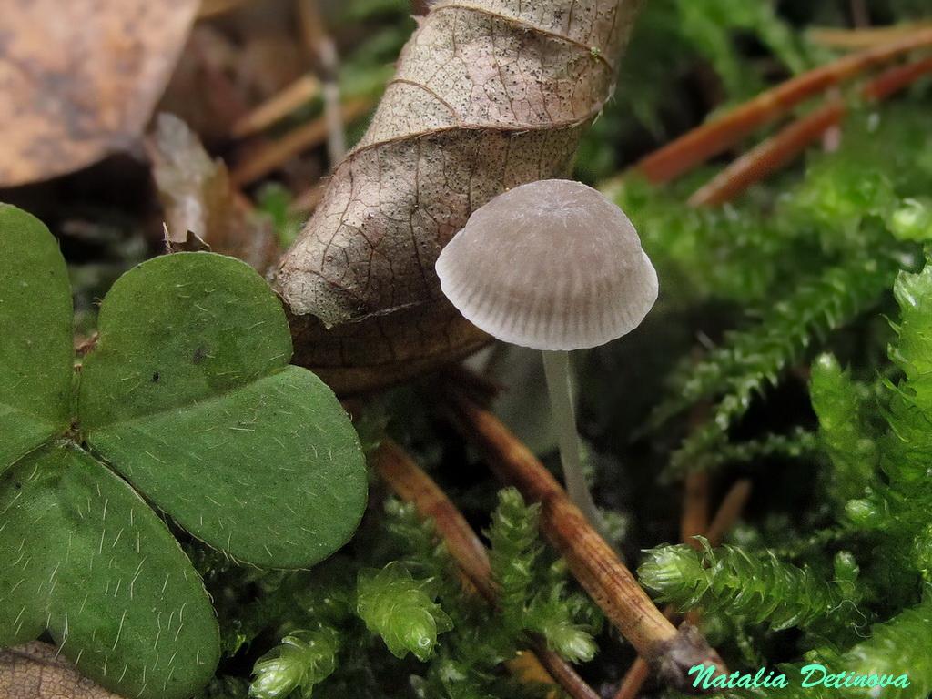 Мицена пепельная (Mycena cinerella). Автор фото: Детинова Наталия