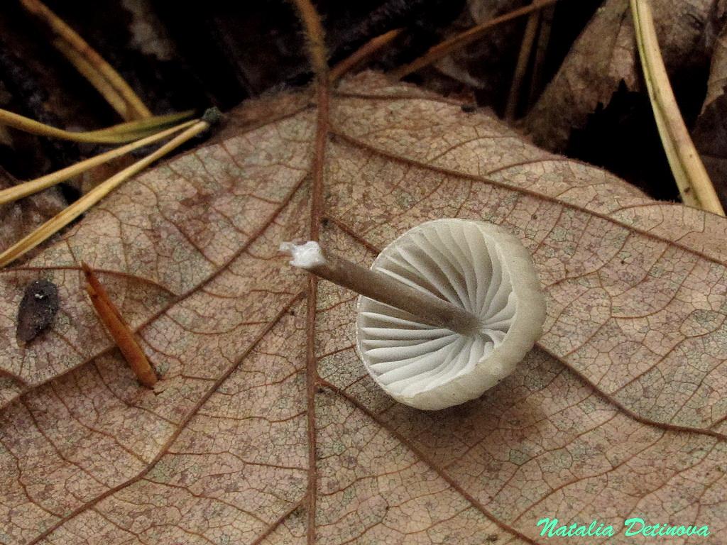 Мицена молочная (Mycena galopus) Автор фото: Детинова Наталия