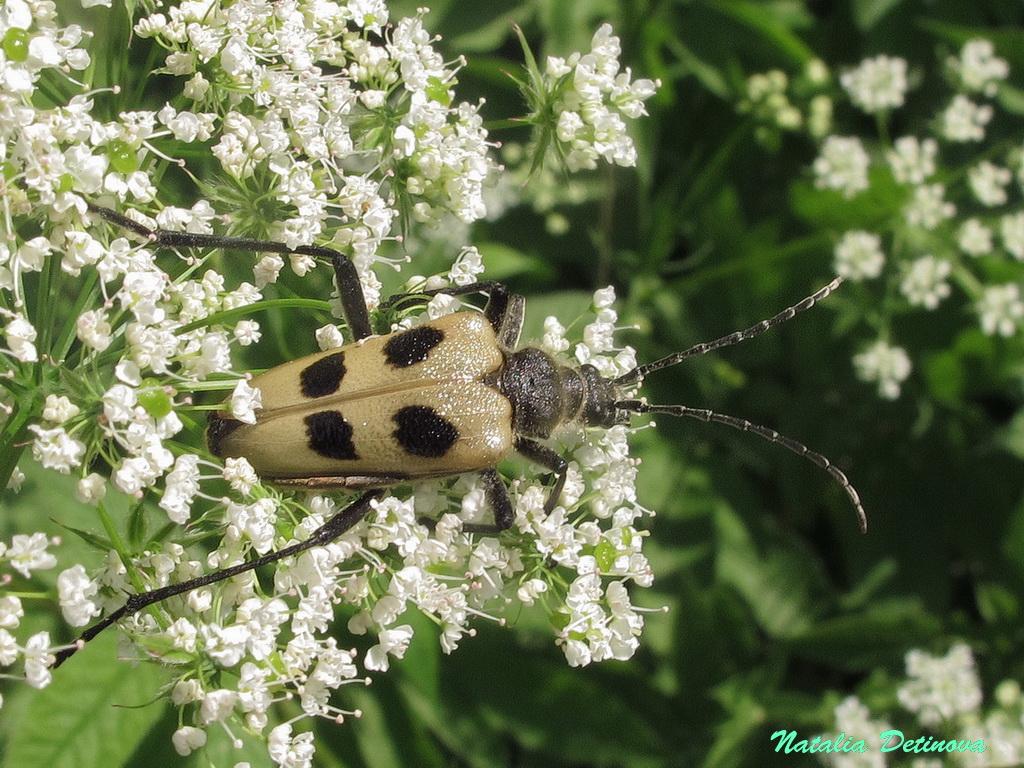 Пахита четырёхпятнистая (Pachyta quadrimaculata). Автор фото: Детинова Наталия