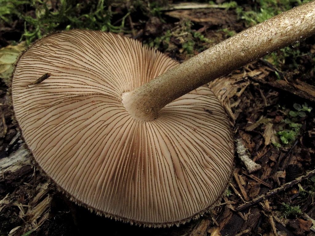 Плютей умбровый (Pluteus umbrosus). Автор фото: Детинова Наталия