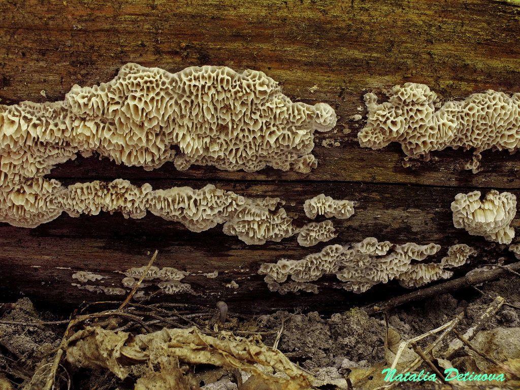 Московская область, Одинцовский район. Начало роста гриба – он еще практически не окрашен. На валежной ели. Август 2020 г. Автор фото: Детинова Наталия