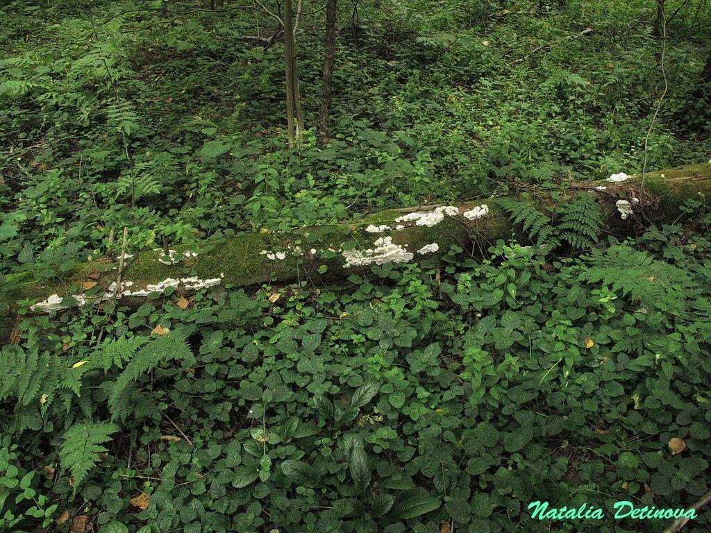 Приоритетное название - Sarcoporia polyspora. Московская область, Одинцовский район. На валежной ели. Август 2020 г.  Эта находка оказалась необычной – ведь подобный обильный рост не типичен для этого вида. А  здесь все бревно густо им обросло. Сами плодовые тела тоже выглядели странно. Такой пухлый габитус и  почти желейная мягкость плодового тела бывает у очень юных Sarcoporia polyspora. А эти грибы были крупных, вполне взрослых размеров. Гриб на этой фотографии почти тянет на мой кулак. Гименофор тоже имеет необычный вид – он как бы припорошен белым налетом. Вероятно, здесь наблюдается поражение грибковым или вирусным заболеванием - отсюда и гипертрофированный рост, и  изменение гименофора. Автор фото: Детинова Наталия