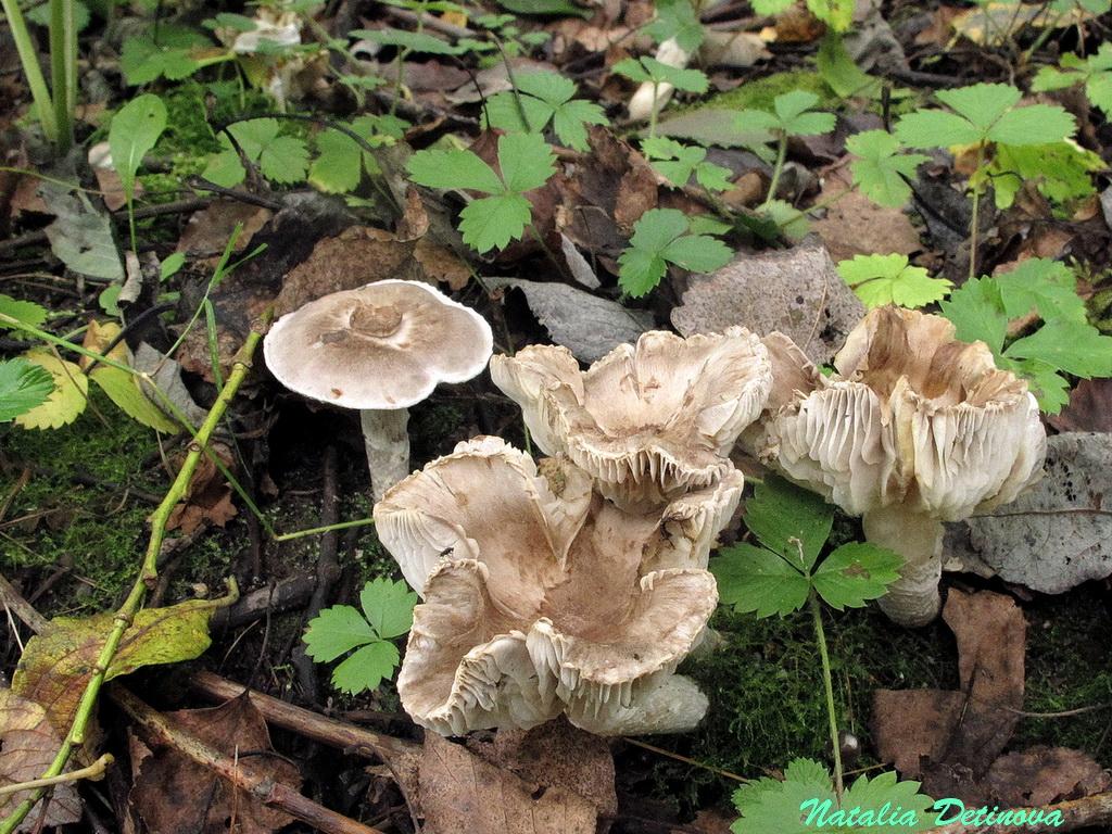 Рядовка опоясанная (Tricholoma cingulatum). Автор фото: Детинова Наталия