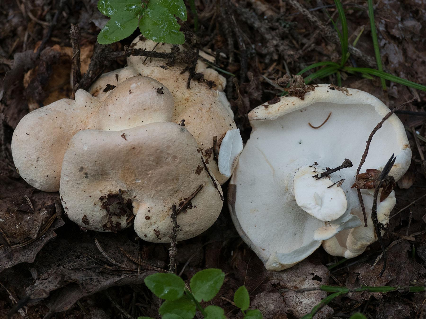 Альбатреллус сливающийся (Albatrellus confluens) типичный вид для шведских лесов. Встречается во второй половине лета и первой половине осени. Автор фото: Сутормина Марина